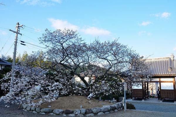 5一樹桜17.04.02