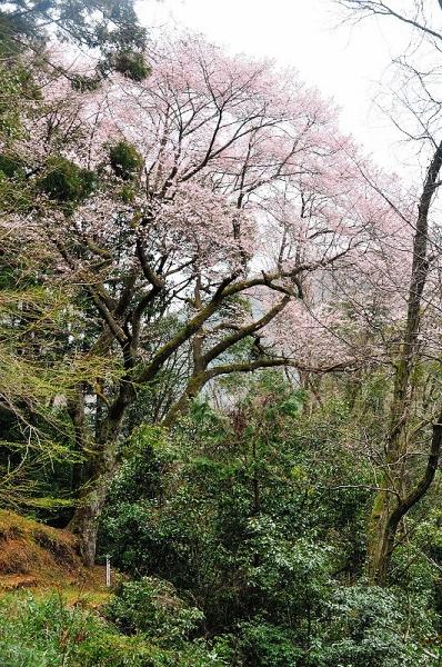 1源太桜17.04.06