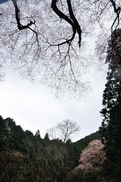 4源太桜17.04.06