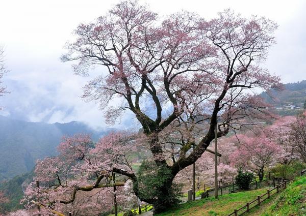 1ひょうたん桜17.04.06