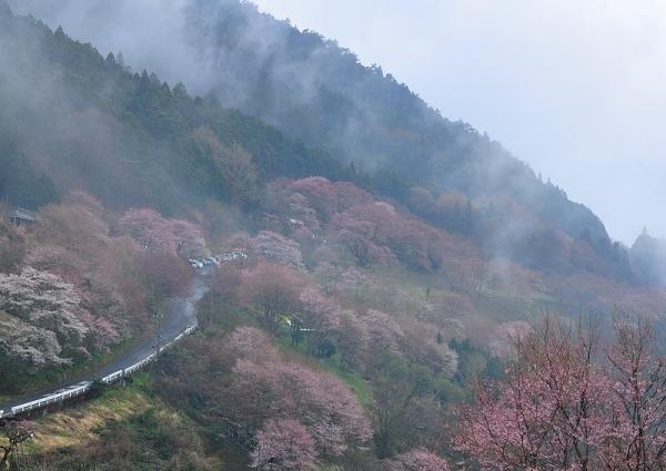 5桜17.04.06