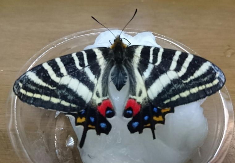 石川県産ギフ母蝶2017