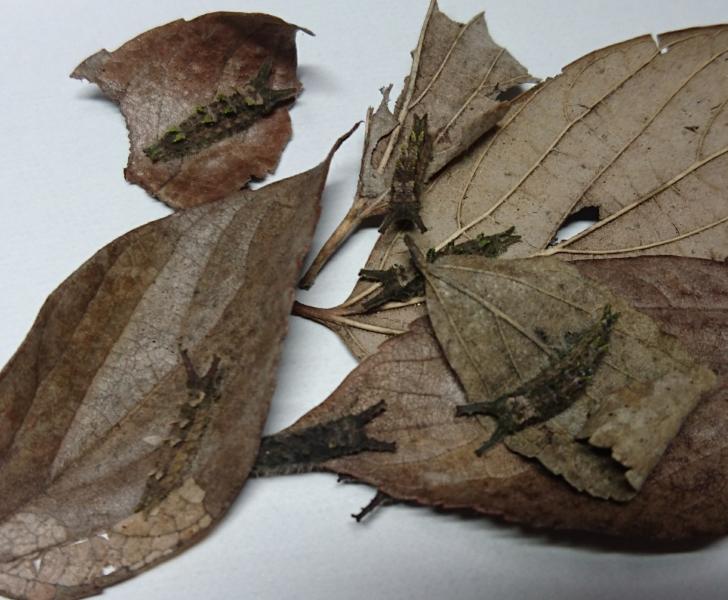 ブルーオオムラサキ越冬幼虫2