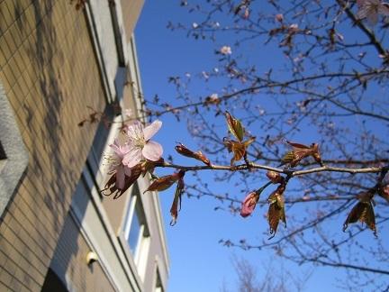 H29桜0502