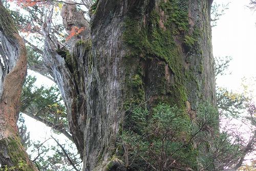 20161113えびの池巡り(7)巨木