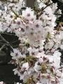 2017_0407桜2