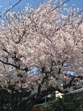 2017_0413桜1