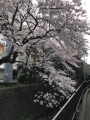 2017_0407桜1