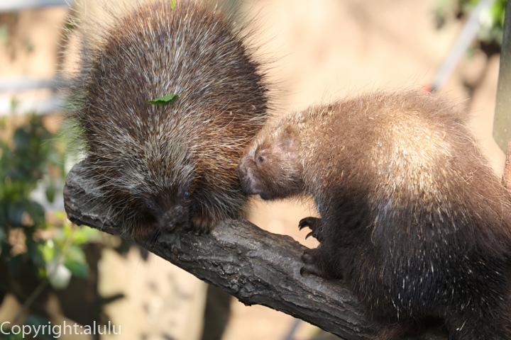 カナダヤマアラシ 動物写真