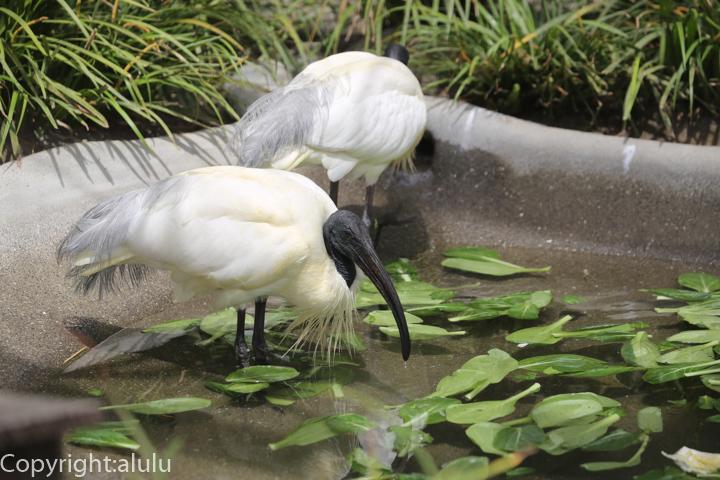井の頭自然文化園 クロトキ 画像