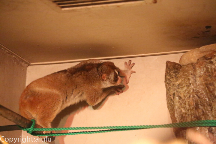 日本平動物園 夜行性 スローロリス