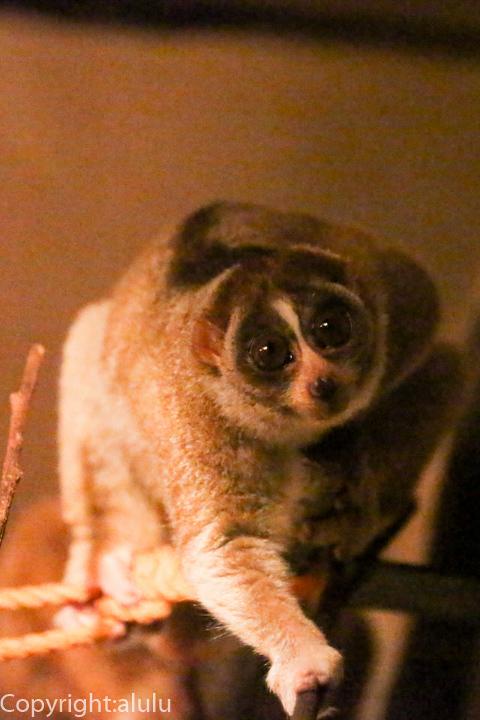 日本平動物園 スローロリス