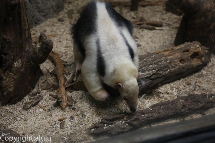 東山動物園 ミナミコアリクイ