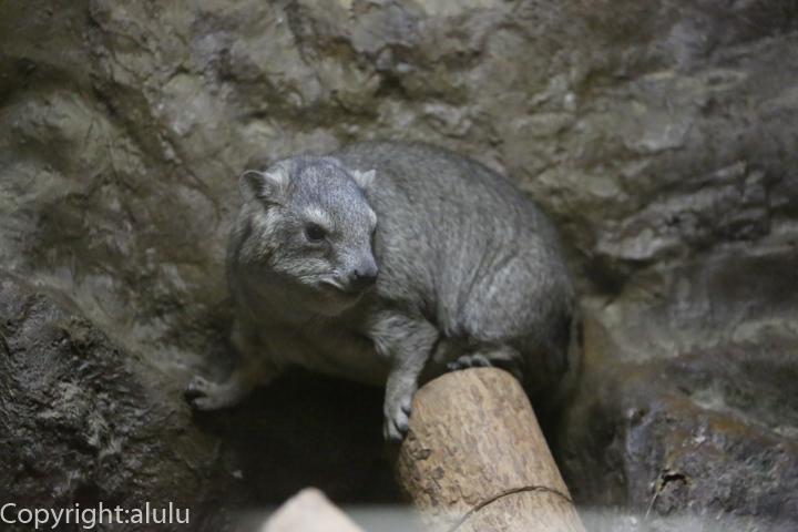 上野動物園 ケープハイラックス