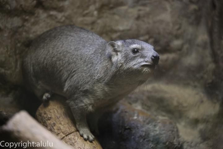 ケープハイラックス 動物写真