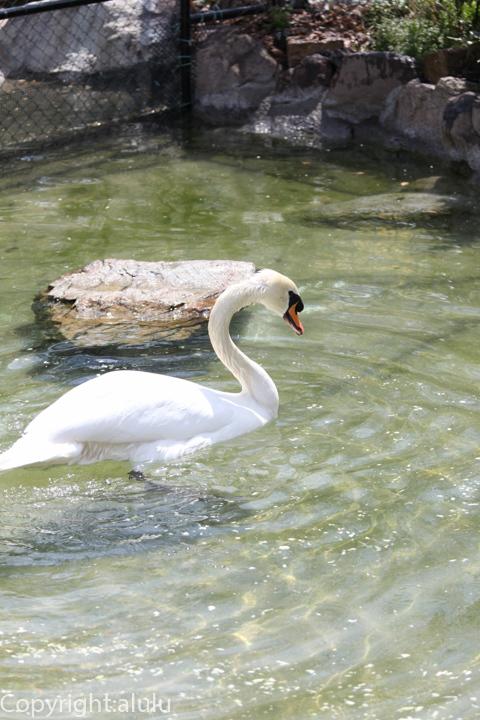 天王寺動物園 コブハクチョウ 画像
