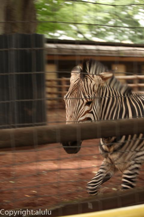 神奈川 動物園 ハートマンヤマシマウマ