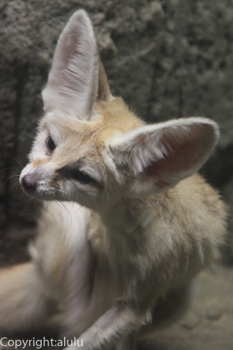 東山動物園 フェネック 画像