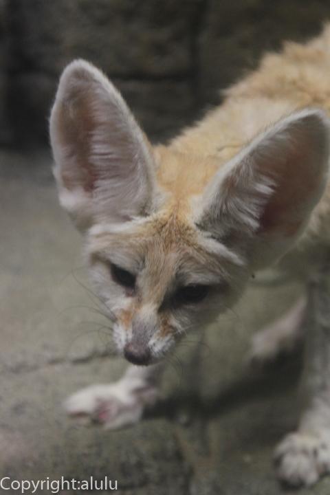 東山動物園 フェネック