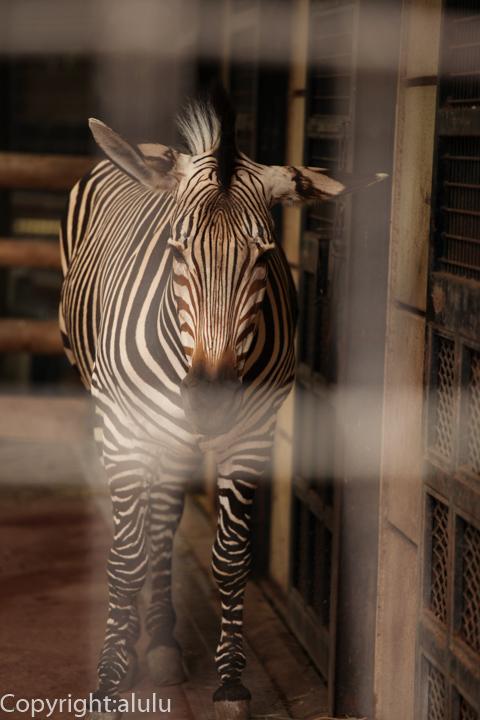 ハートマンヤマシマウマ 動物写真