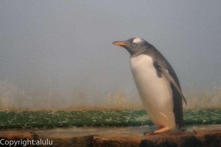 のいち動物園 ジェンツーペンギン