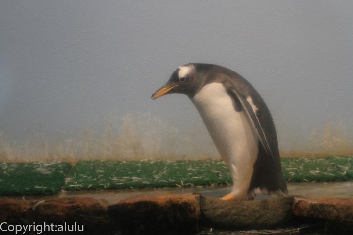 ジェンツーペンギン 動物写真