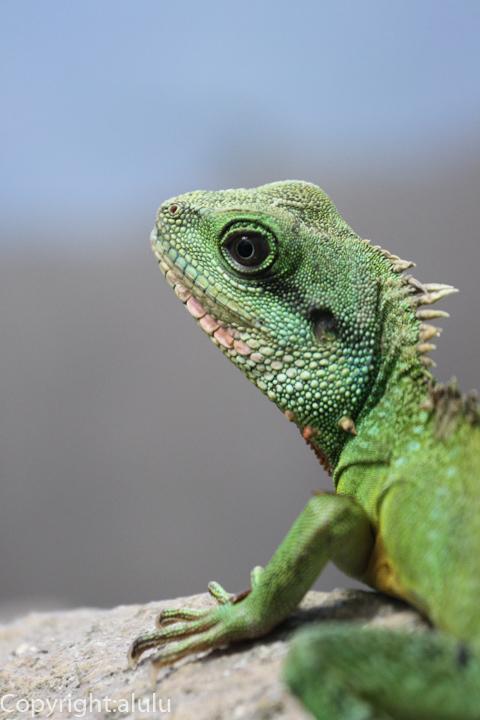 東山動物園 インドシナウォータードラゴン 爬虫類