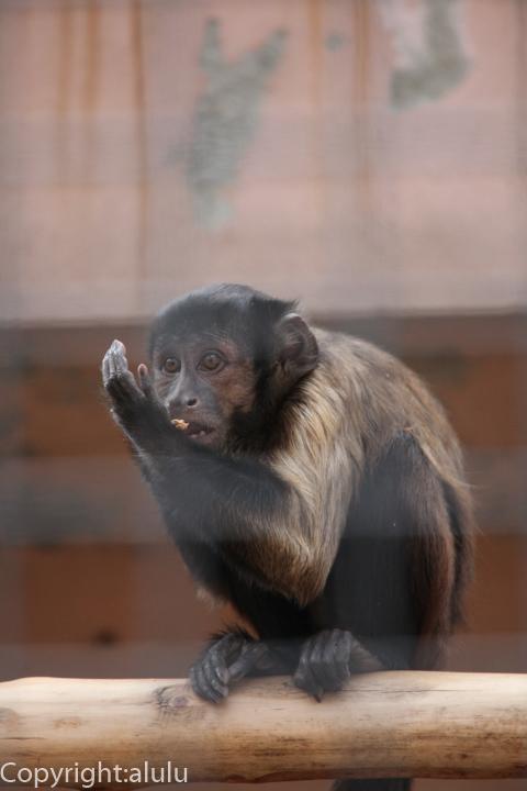 王子動物園 フサオマキザル