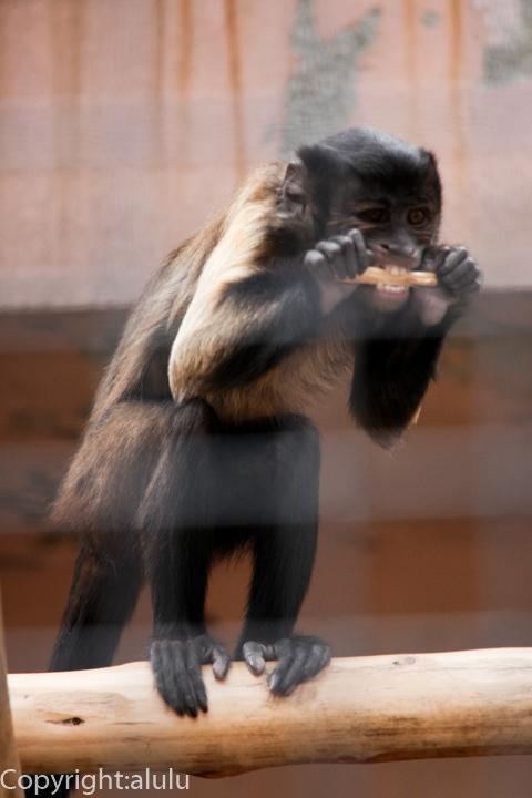 王子動物園 サル