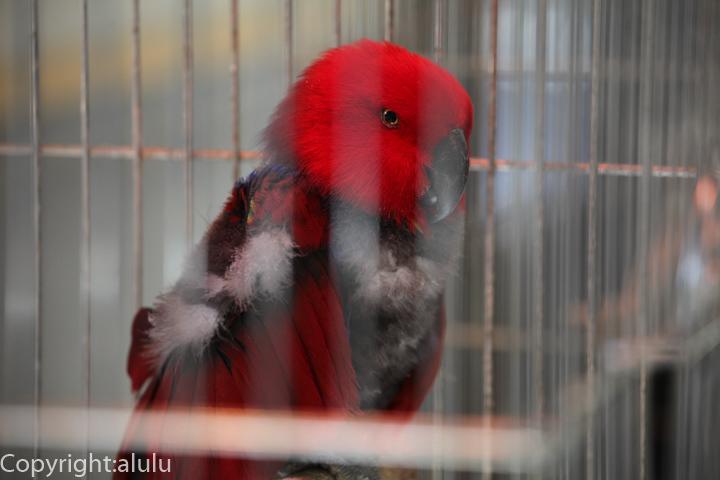 オオハナインコ 動物写真