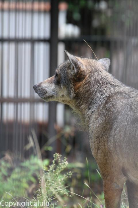 浜松市動物園 ヨーロッパオオカミ