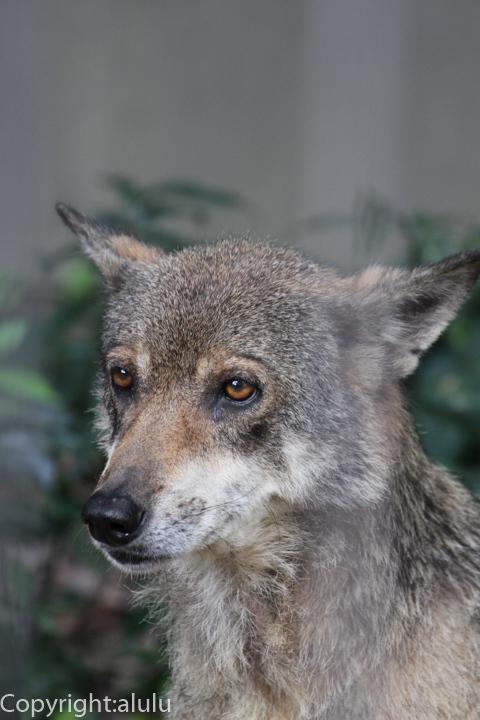 ヨーロッパオオカミ 画像