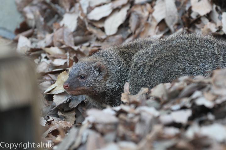 埼玉県こども自然動物公園 シママングース