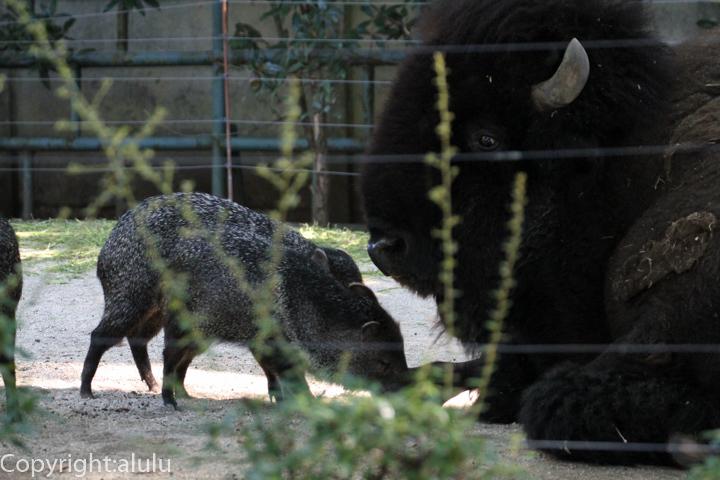 上野動物園 クビワペッカリー 画像