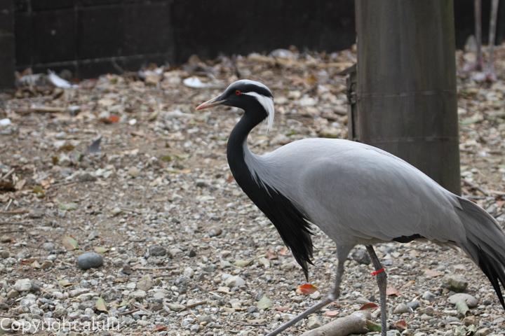 アネハヅル 動物写真