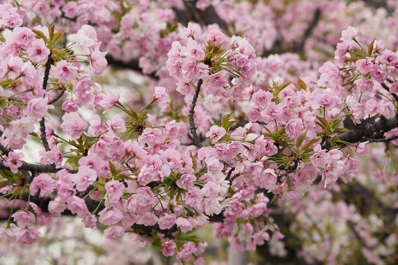AEMX20170412_0426笹部桜