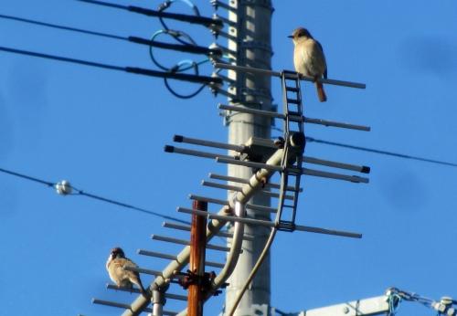 ジョウビタキ と雀