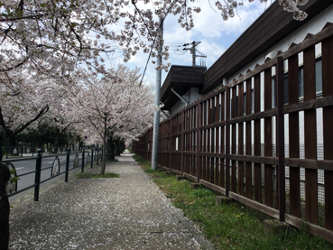 nagatorosakura03.jpg