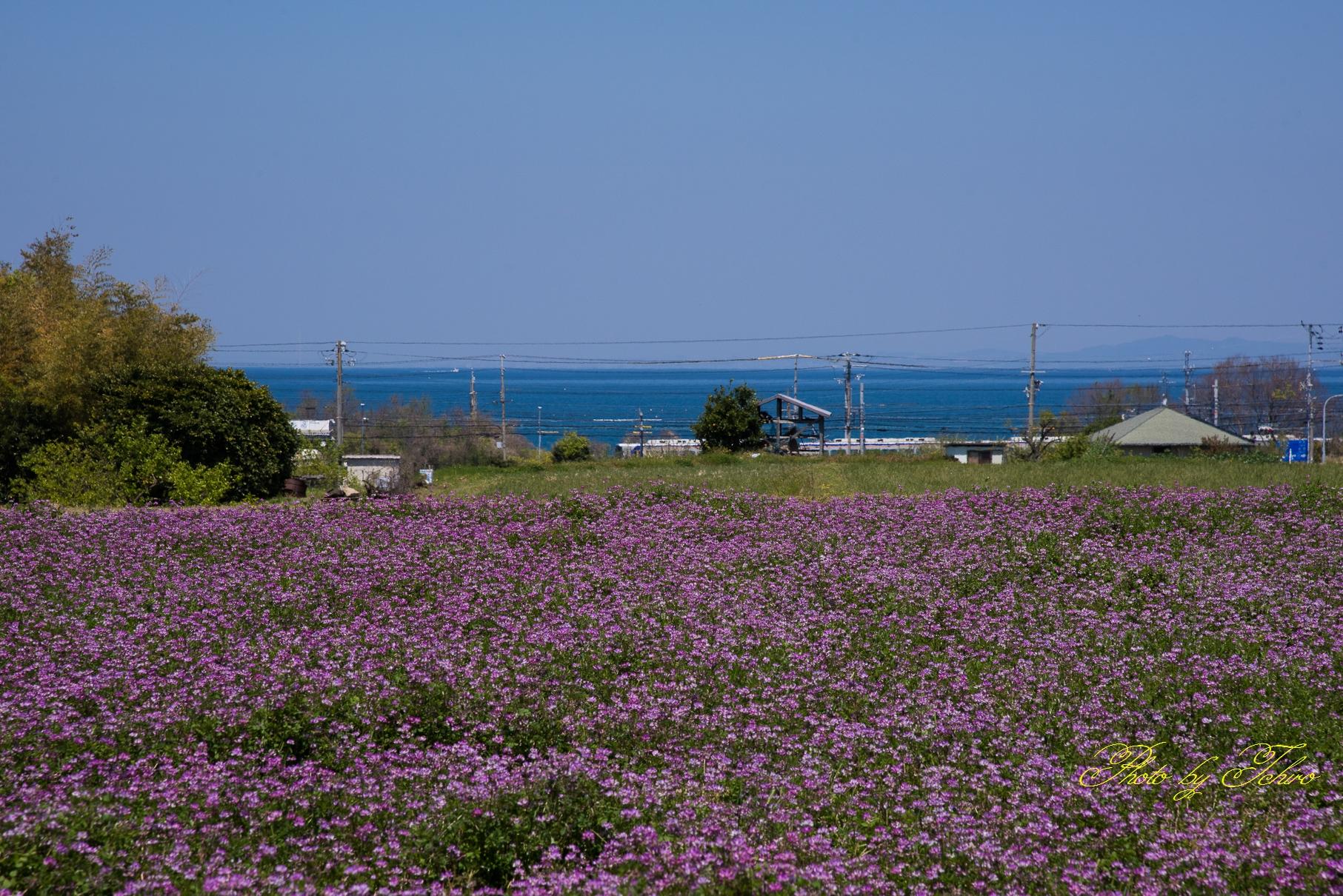 れんげ畑と海と