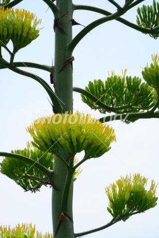 4854892 リュウゼツランの花