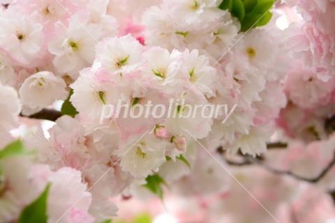4841024 八重桜