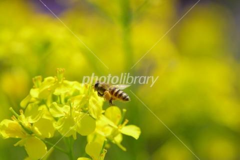 4965115 菜の花と蜜蜂