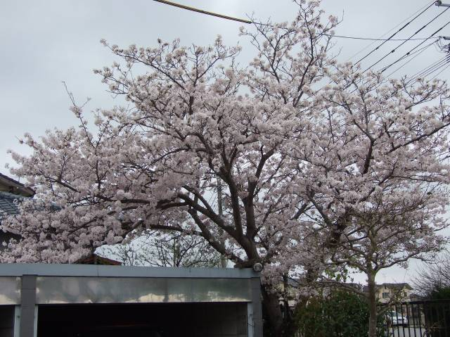 さくら 桜 舞い散る桜