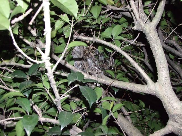 野鳥の巣掛け