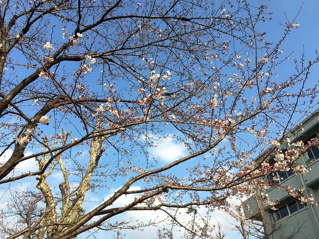 2016年3月24日の東京の桜 by占いとか魔術とか所蔵画像