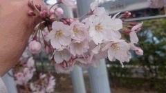 桜、さくらですぅ&作って作ってって