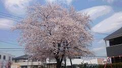 桜満開&また白いブラウス