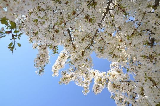 1024px-Prunus_speciosa_in_the_Jardin_des_Plantes_004.jpg