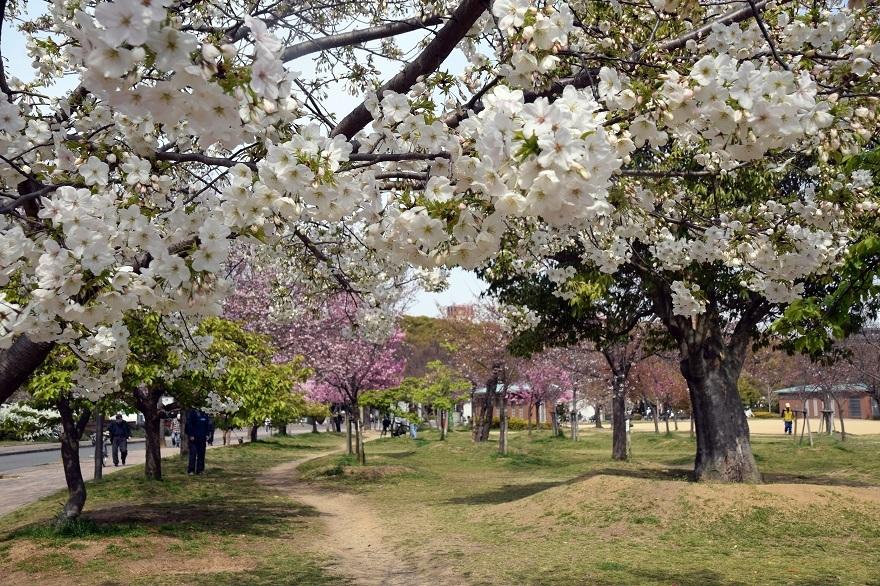 長居公園・桜 (0)