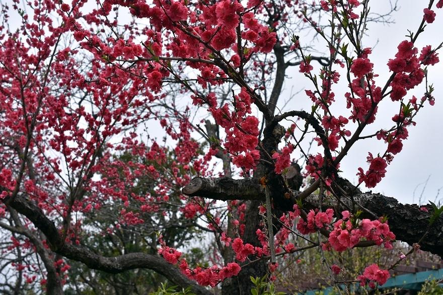 大仙日本・春 (5)